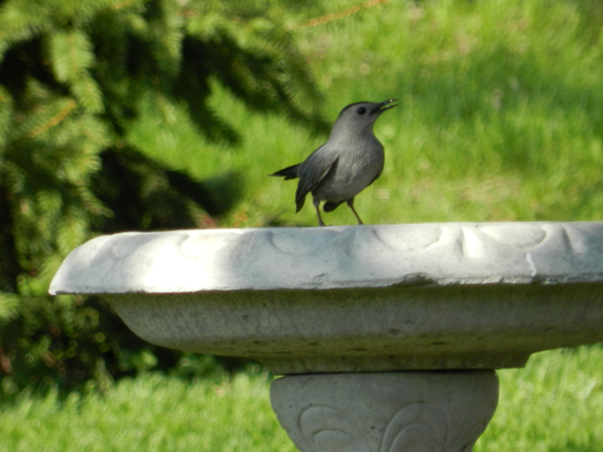 The Grey Catbird won't care about your bird feeder, but he might come to your bird bath.
