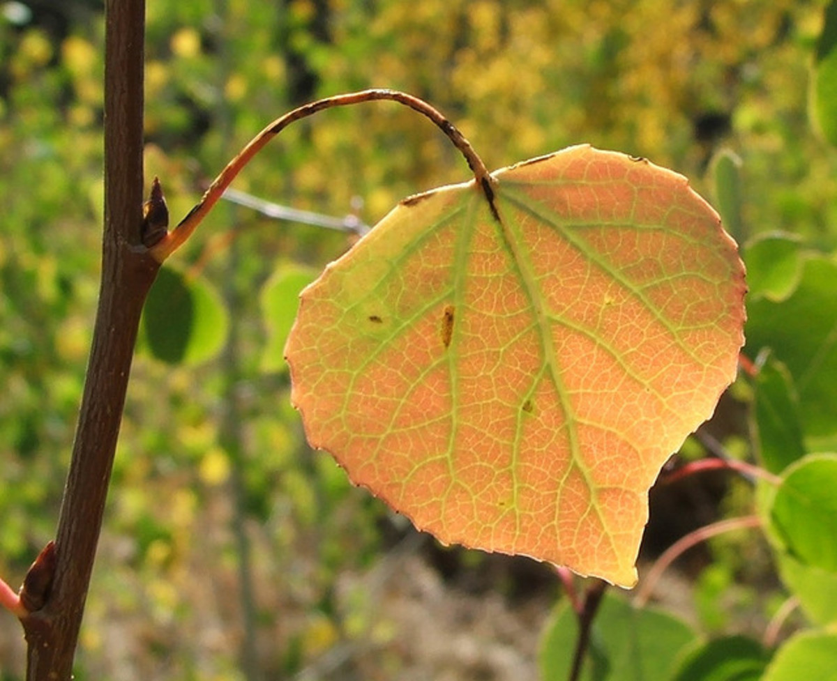 A quaking aspen (Populus tremuloides) leaf displaying its fall colors.