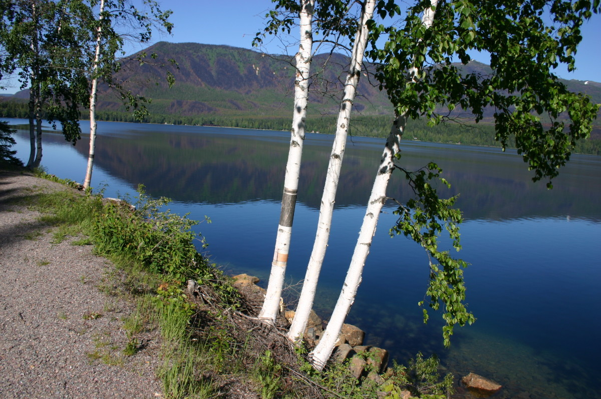 White or paper birch trees alongside Lake McDonald in Glacier National Park