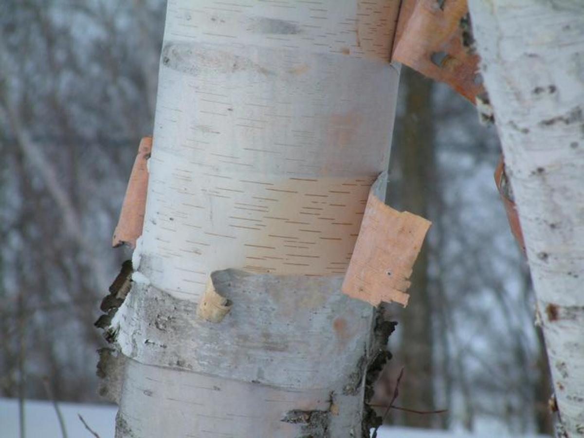 The bark of the paper birch (Betula papyrifera) often hangs loosely on the trunk of the tree.