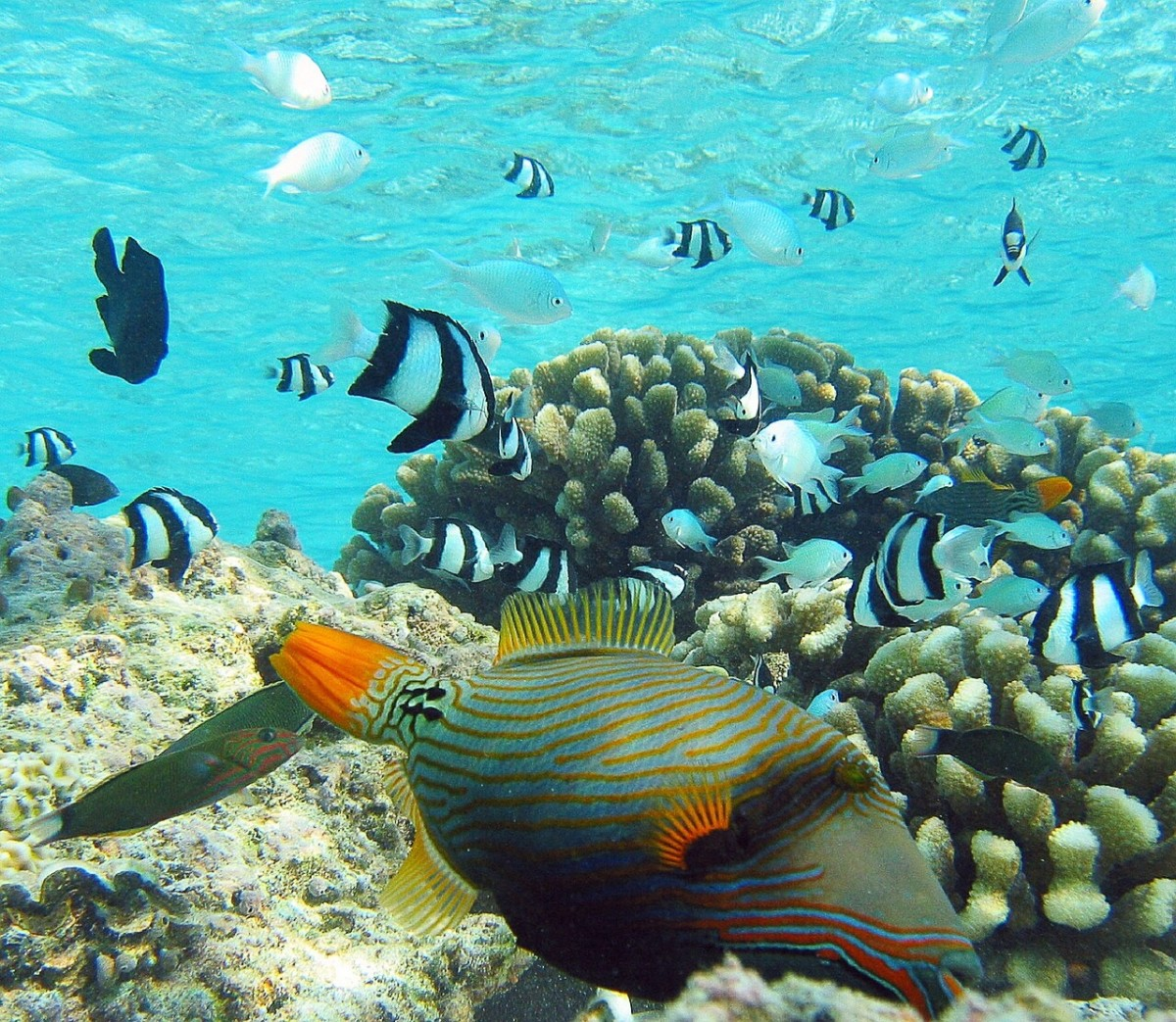 An orange-lined triggerfish (in the foreground) swimming over a coral reef