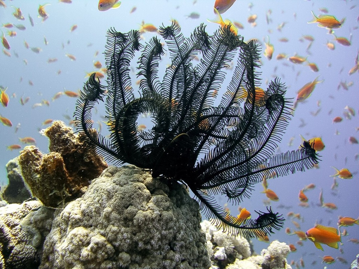 Feather star on the coral reef, Dahab