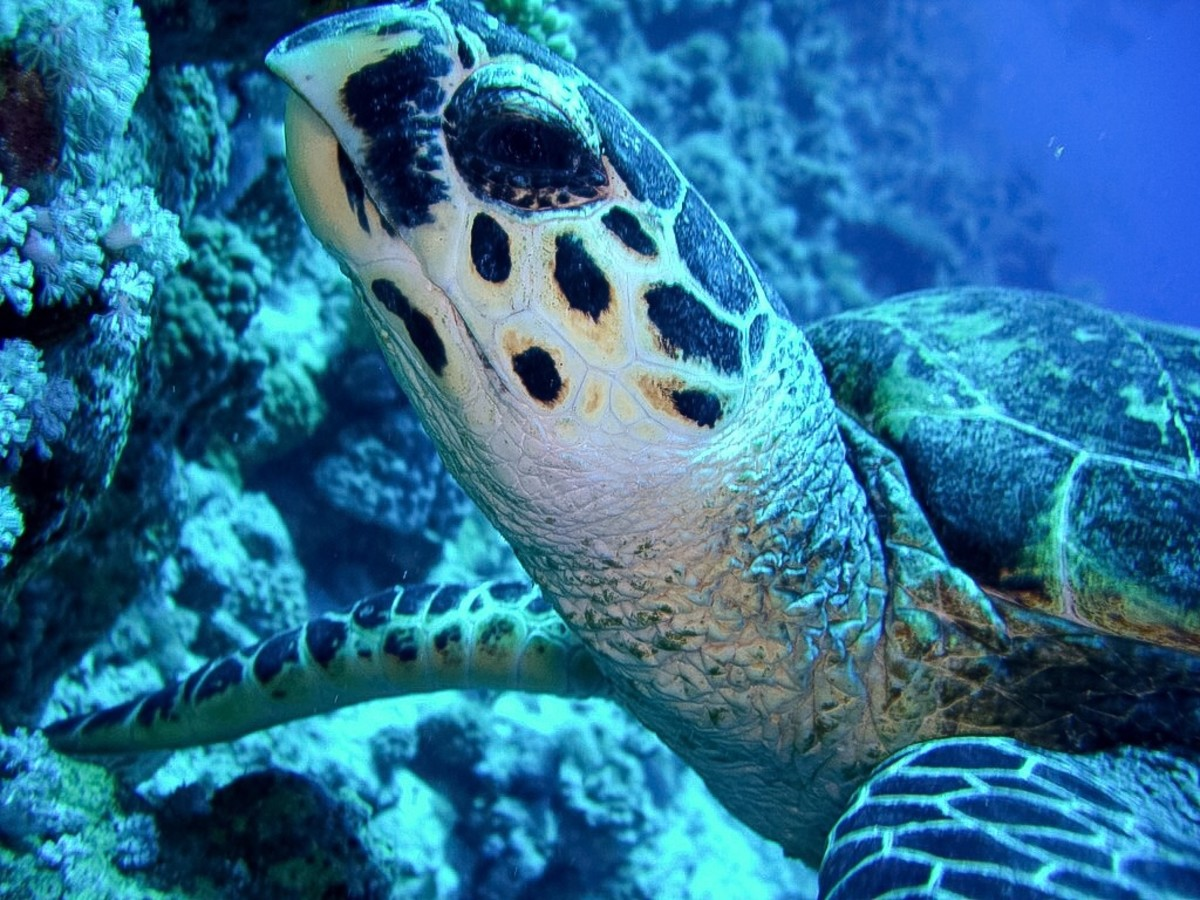 Hawksbill turtle, Woodhouse Reef
