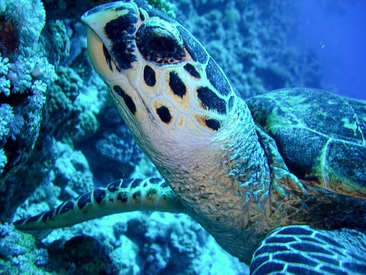 Hawksbill turtle, Woodhouse Reef