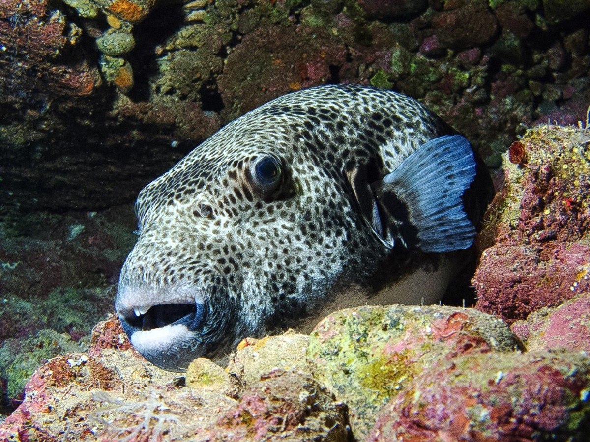 A puffer fish at the entrance to a cave on a coral reef