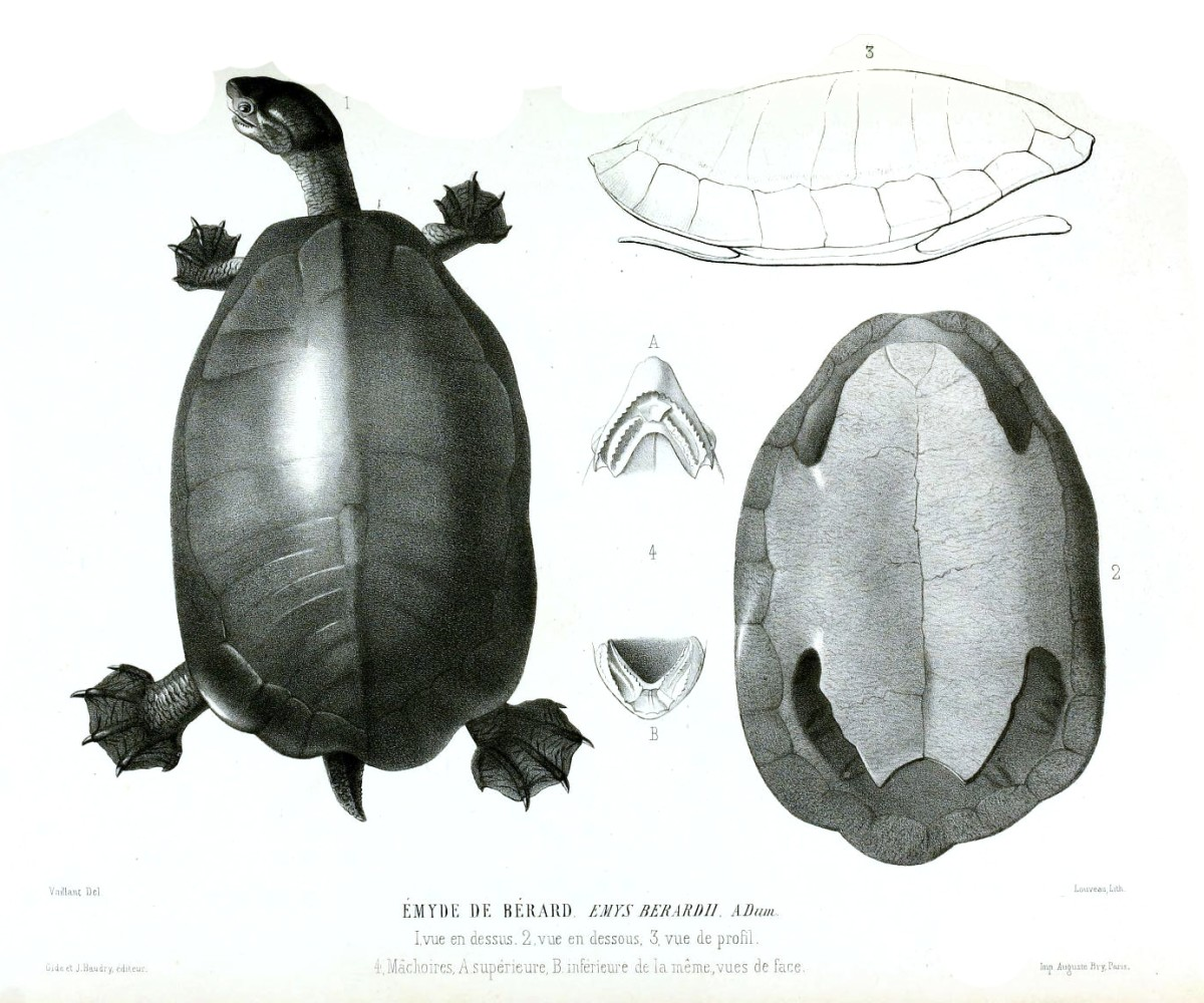 The earliest described chelydrid Emarginachelys cretacea (1852 Drawing)