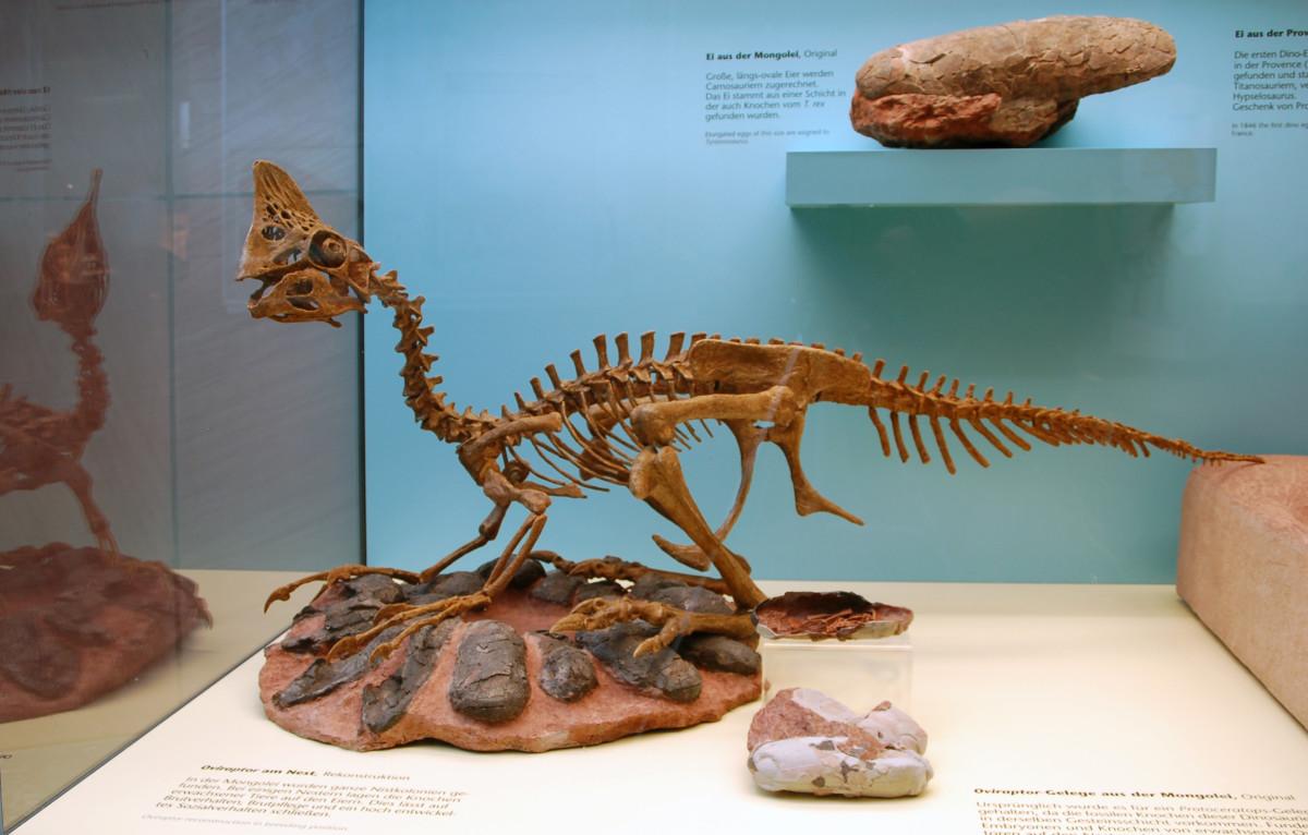 Oviraptor -  Senckenberg Museum