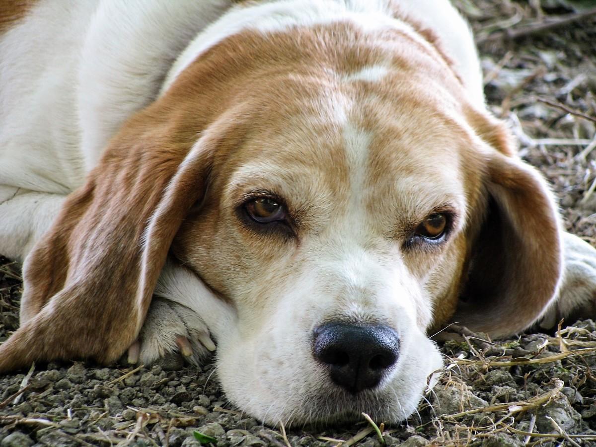 A senior beagle
