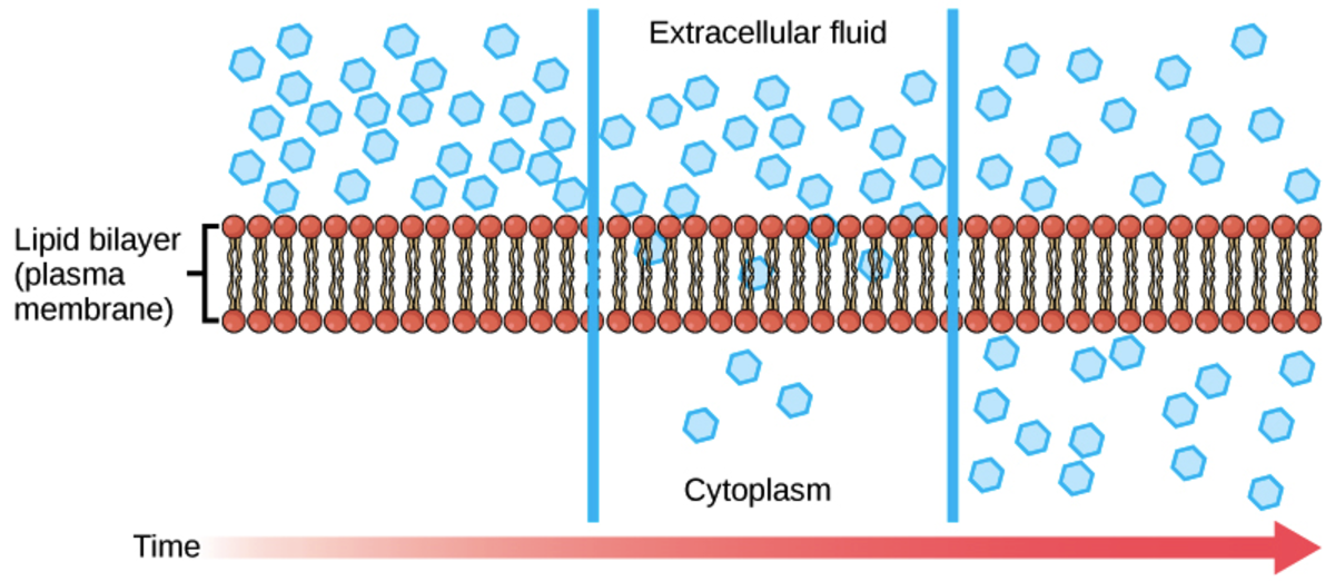 Diffusion across the cell membrane happens because of the concentration gradient between the intracellular and extracellular environments.