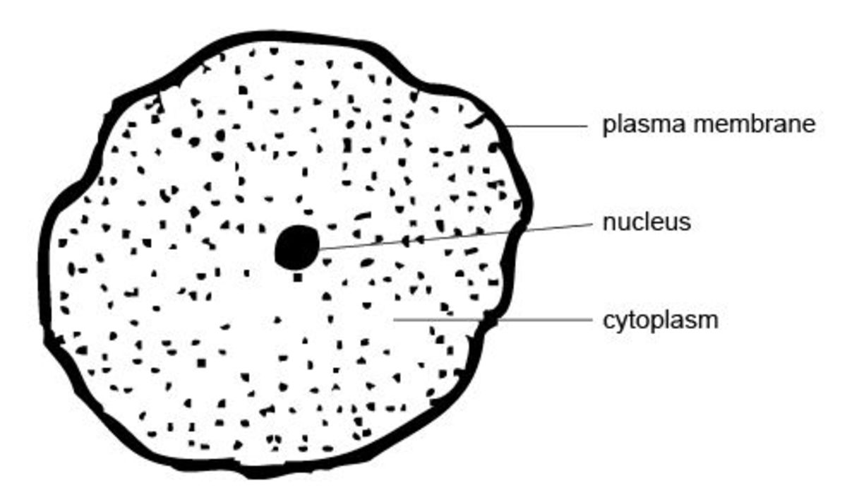 Being small and spherical helps cells to maintain a good volume to surface area ratio. Other adaptations include 'wobbly' membranes and flattening, all of which increase surface area and therefore the cell's ability to absorb substances by diffusion.