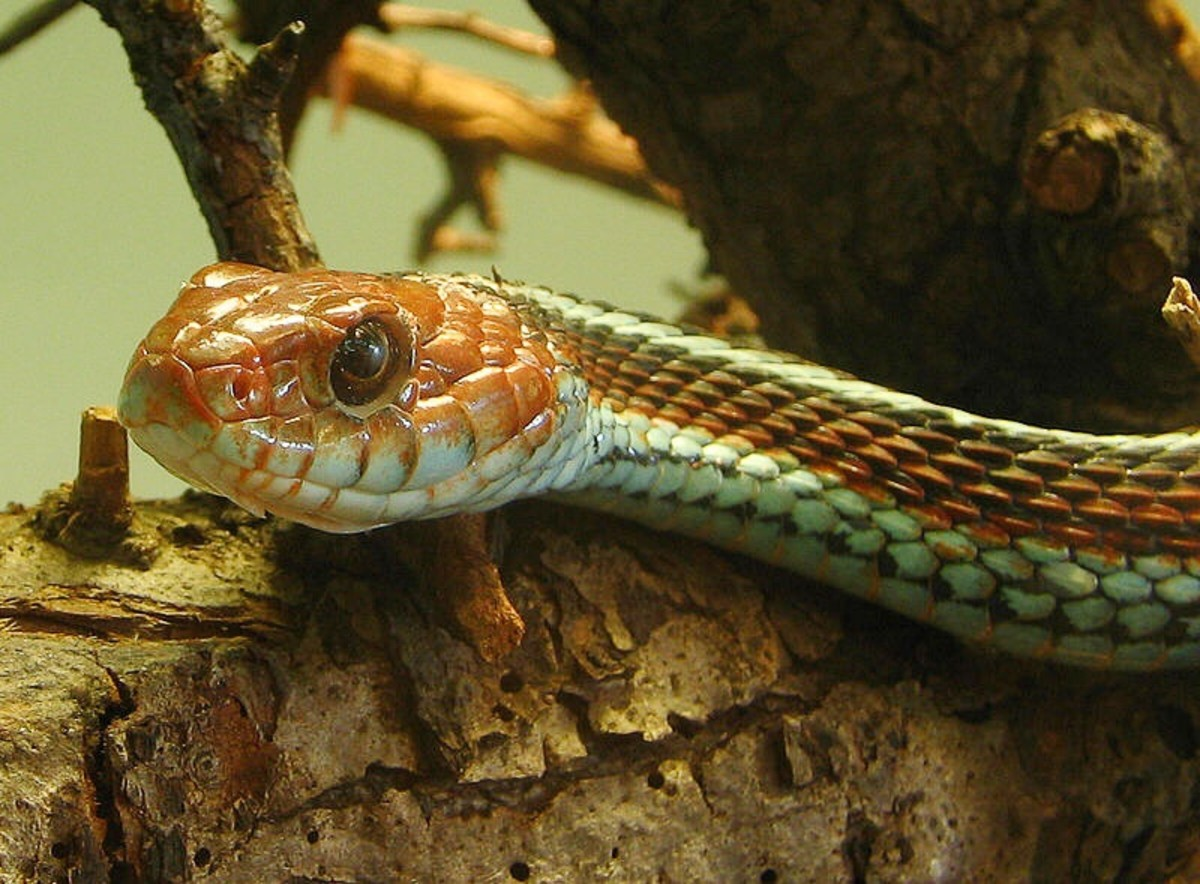 The San Francisco garter snake is a subspecies of the common garter snake and is endangered.