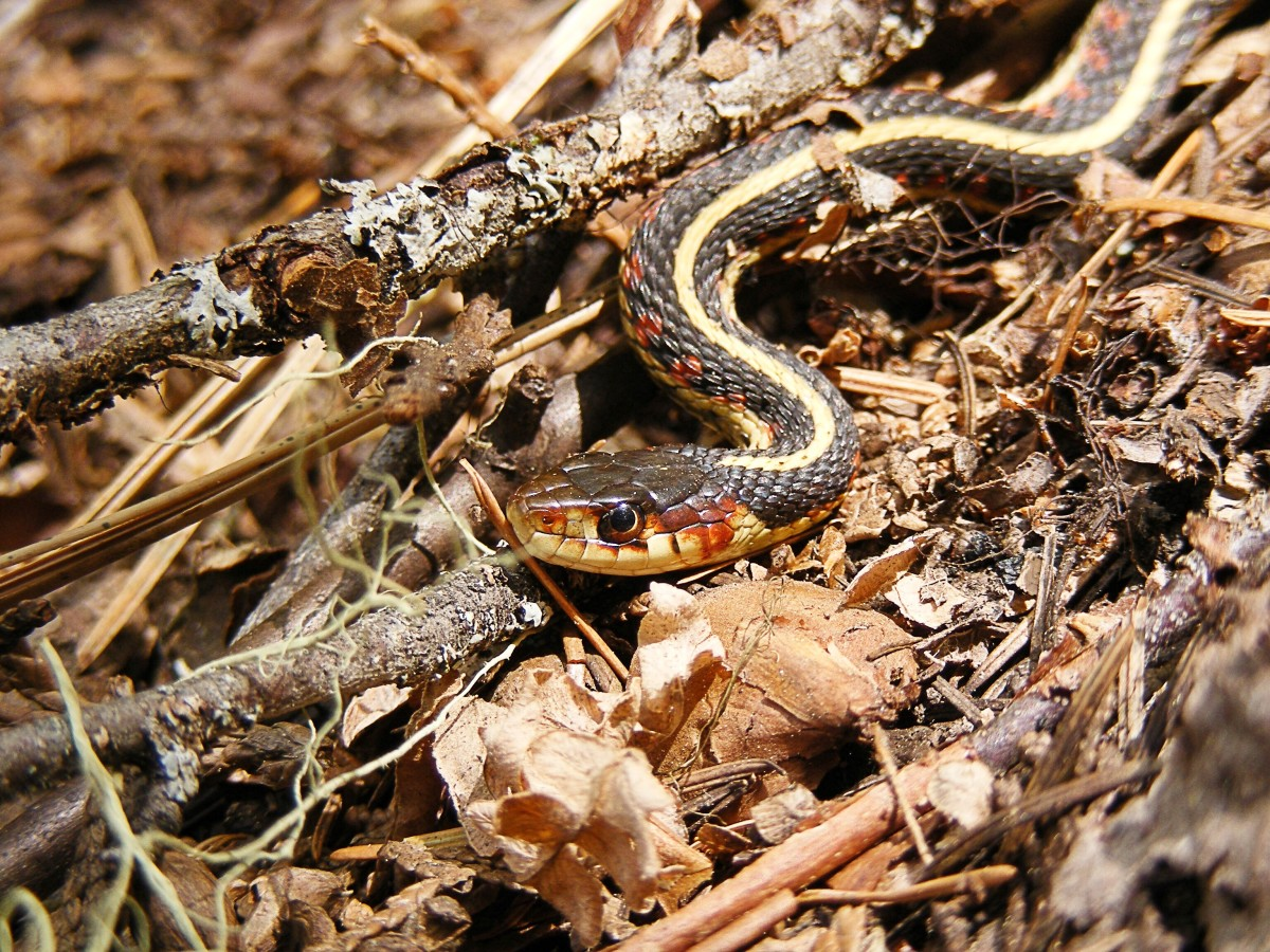 Identifying garter snakes by colour and pattern is often unreliable since the reptiles vary in appearance. This is another representative of Thamnophis sirtalis.