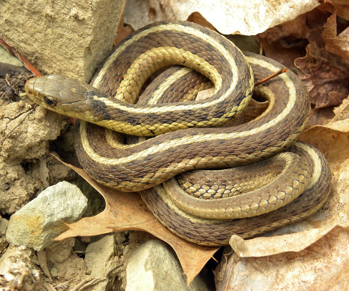 The eastern garter snake (Thamnophis sirtalis sirtalis) is a close relative of the red-sided garter snake.