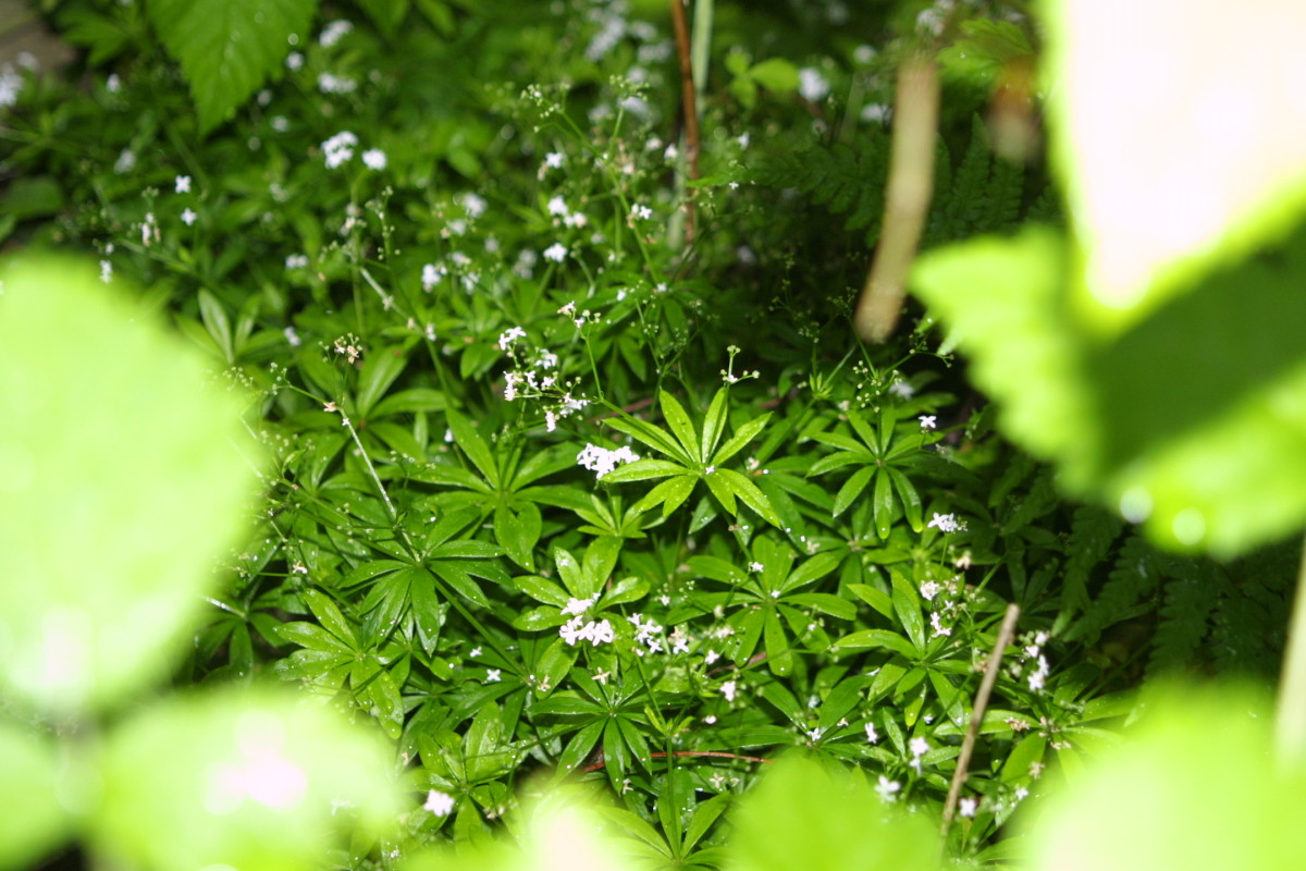 Woodruff (Galium odoratum) growing in woodland.