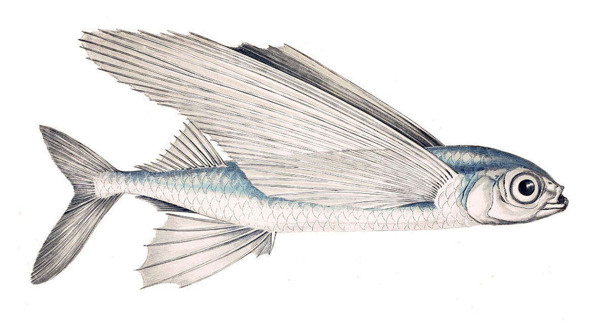 The highly evolved, Exocoetus volitans