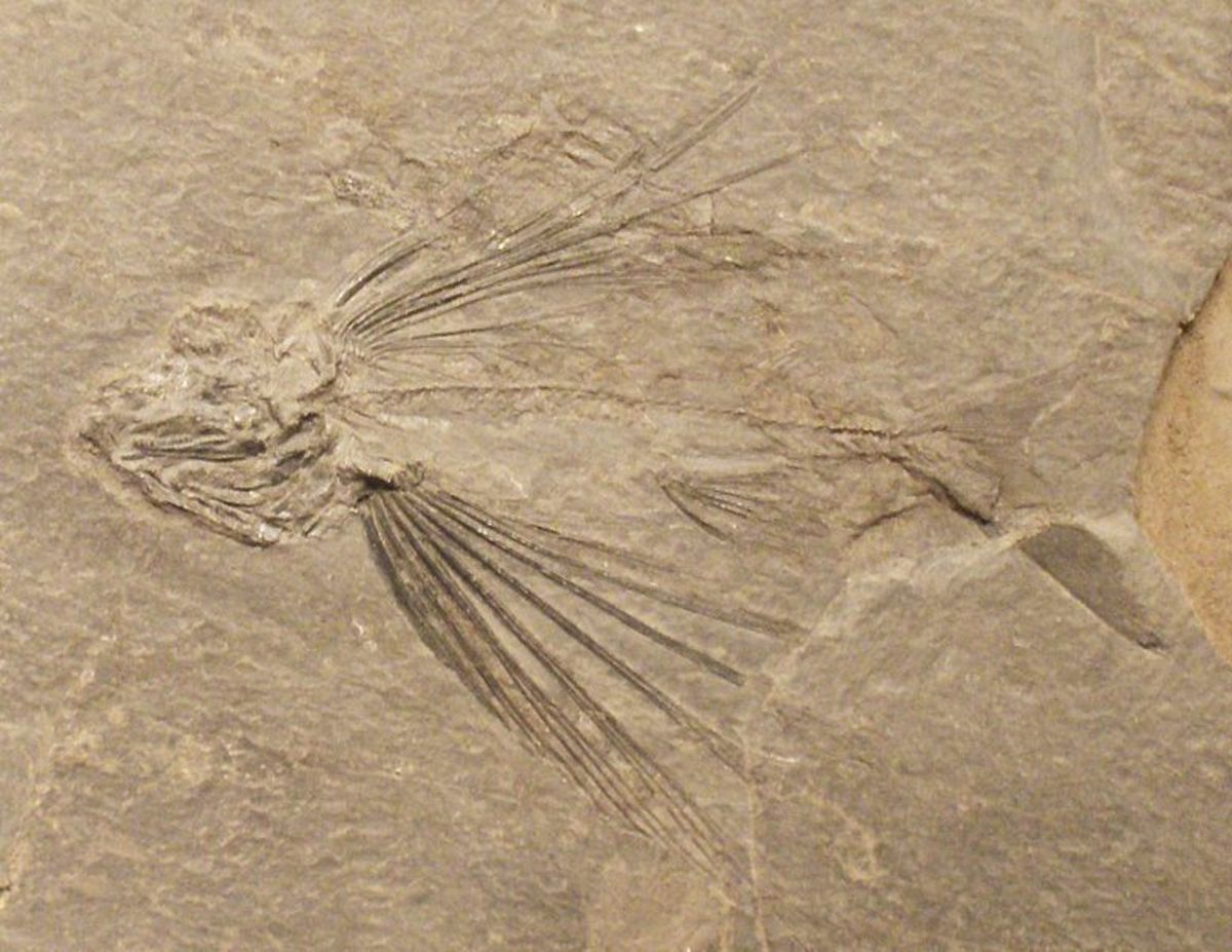 Flying fish from the Triassic period.