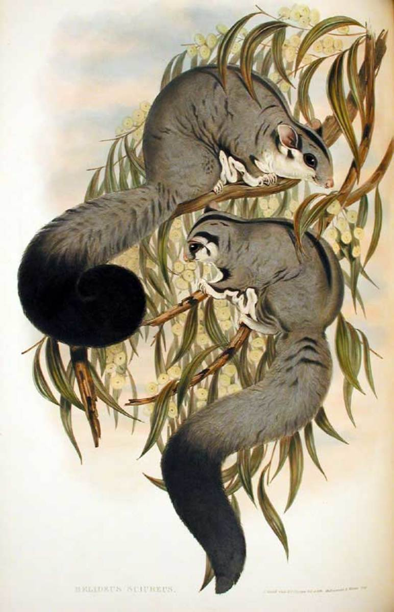 The squirrel glider (Petaurus norfolcensis)