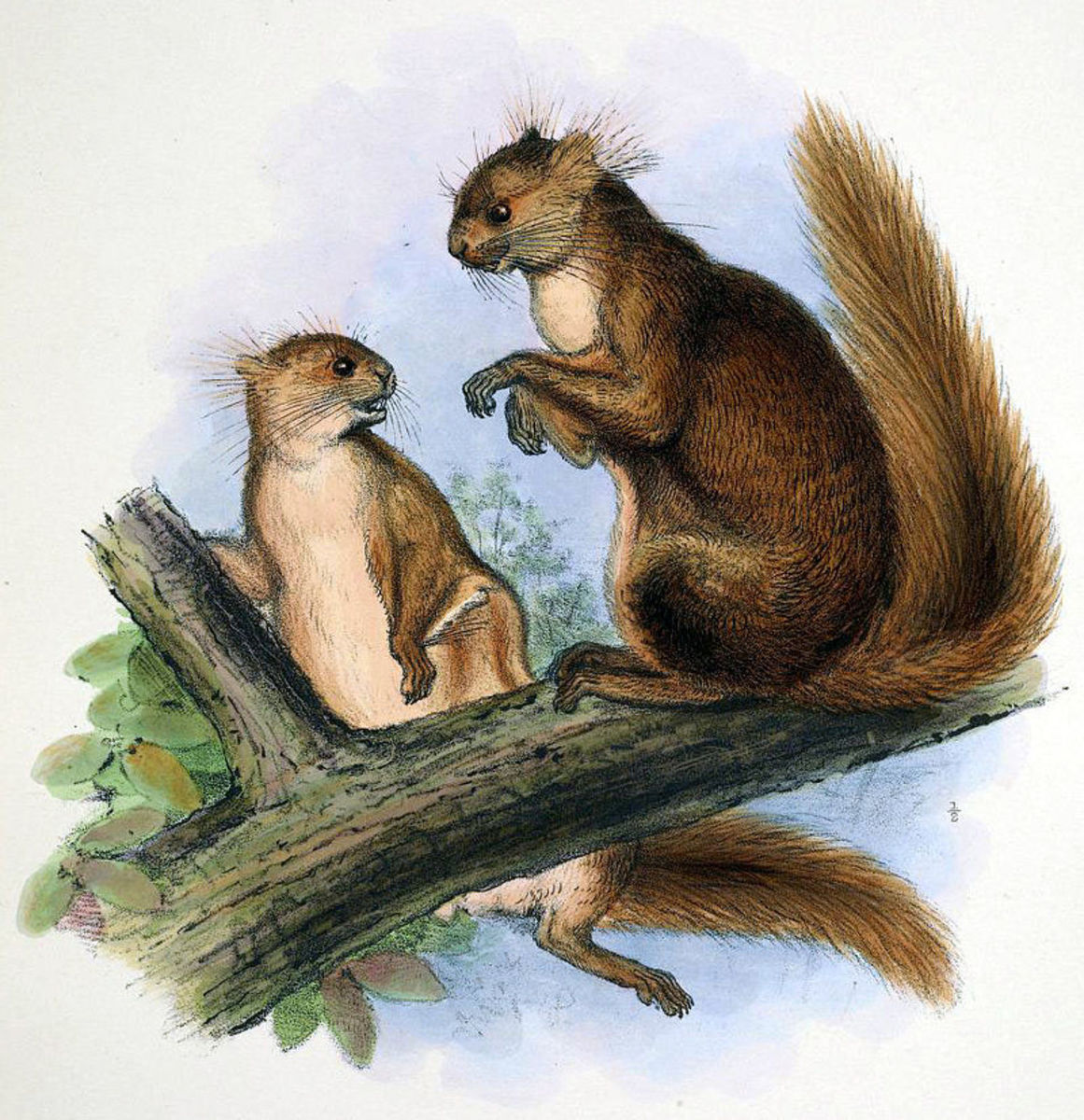 Early illustration of a pair of hairy footed flying squirrels. The artist seems to think they are having a chat.