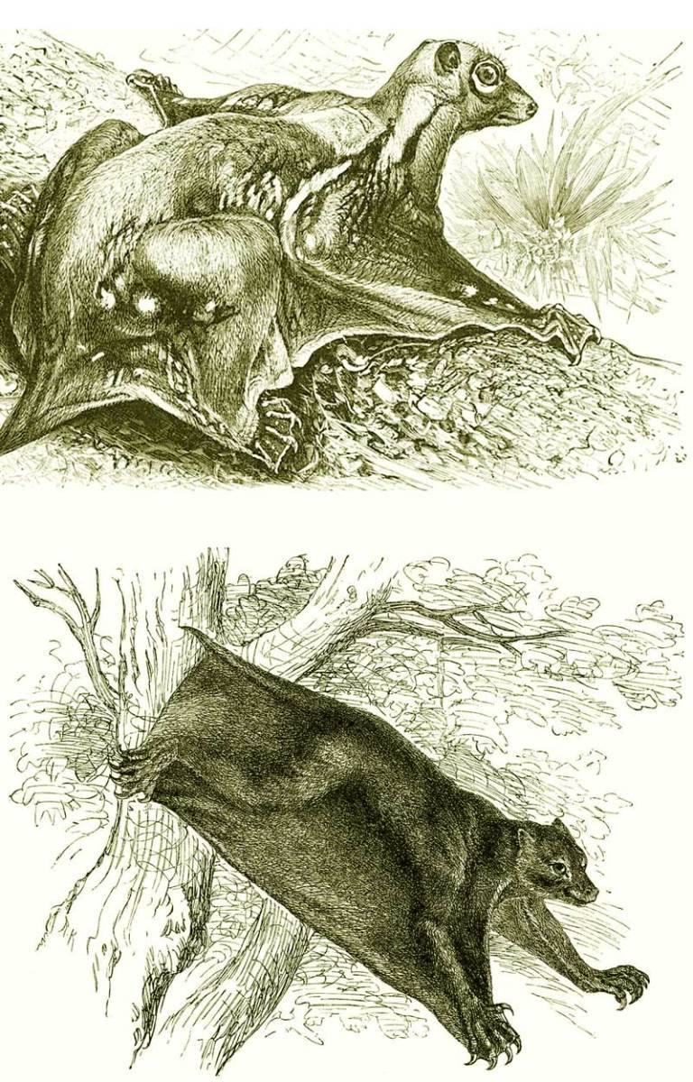 An artist's rendering of the complex and voluminous skin of the Colugos.
