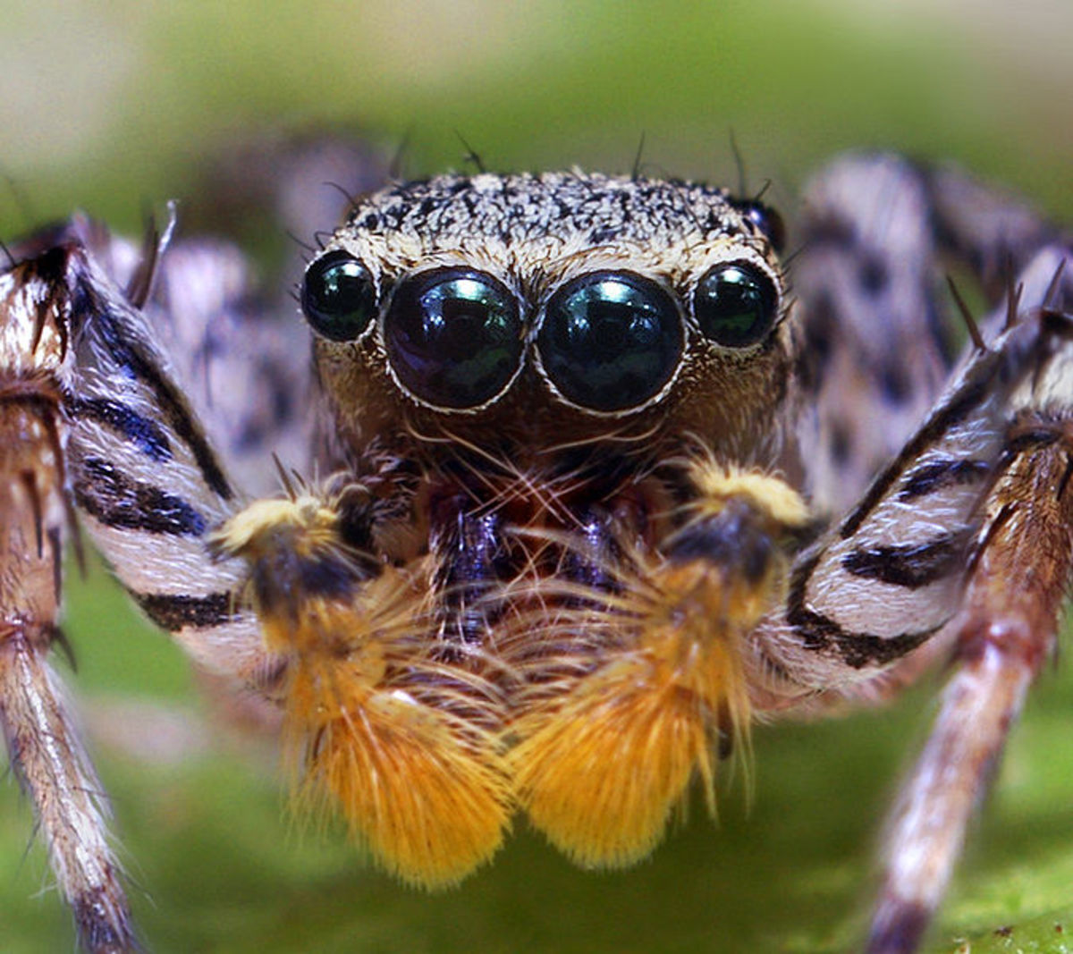 Jumping spiders get airborne but do not travel far.