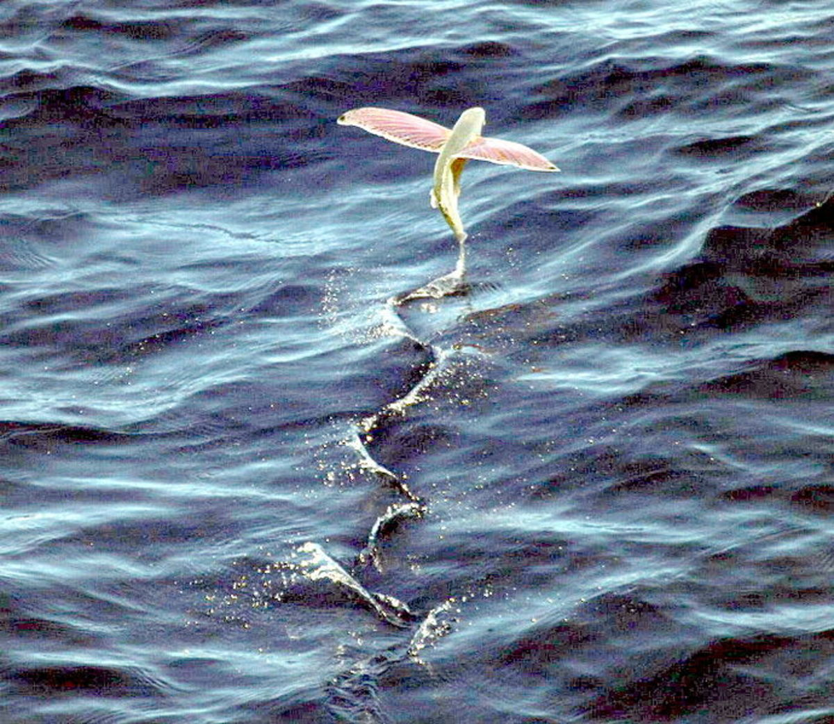 A four-winged flying fish