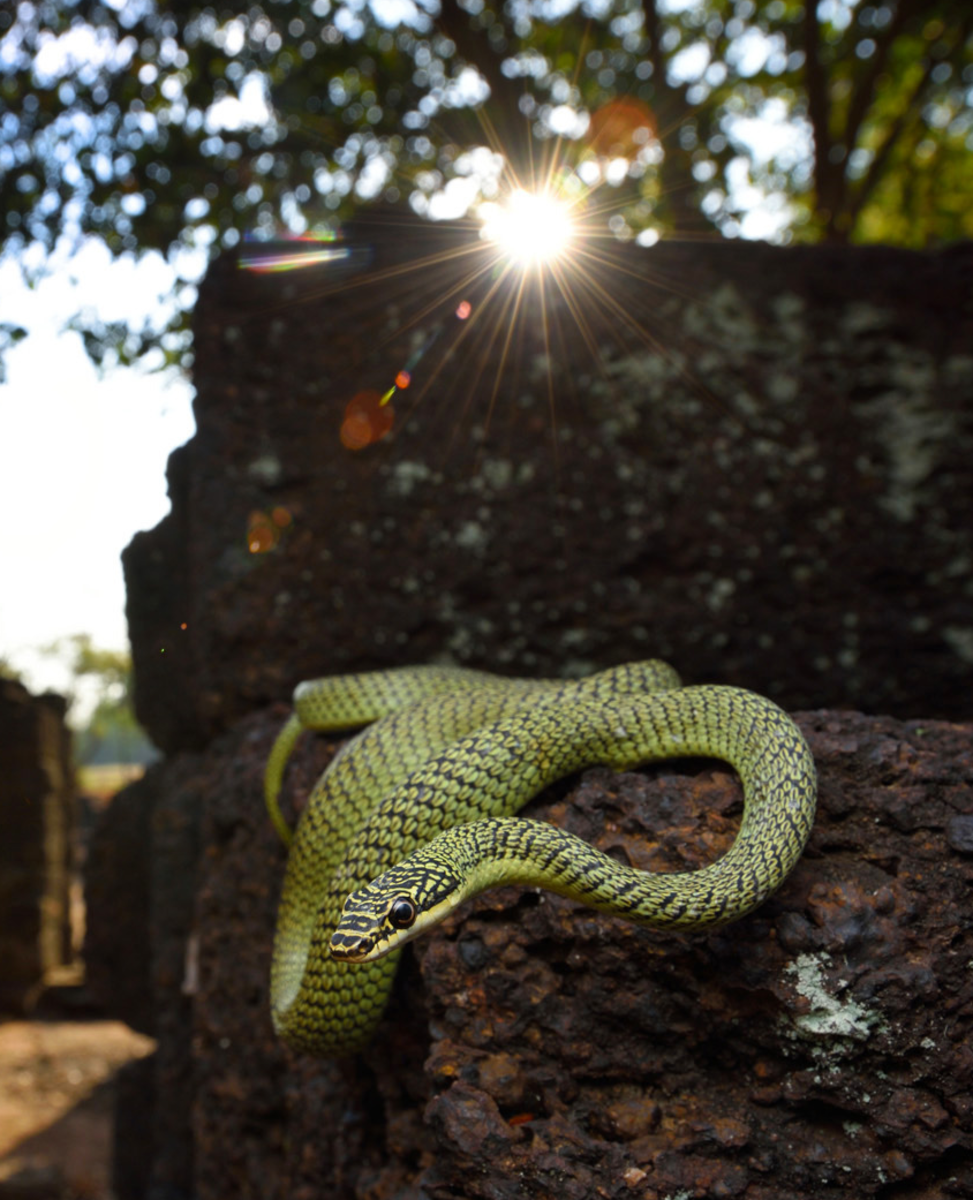 Ornate Flying Snake, Chrysopelea ornata, in a more relaxed moment.