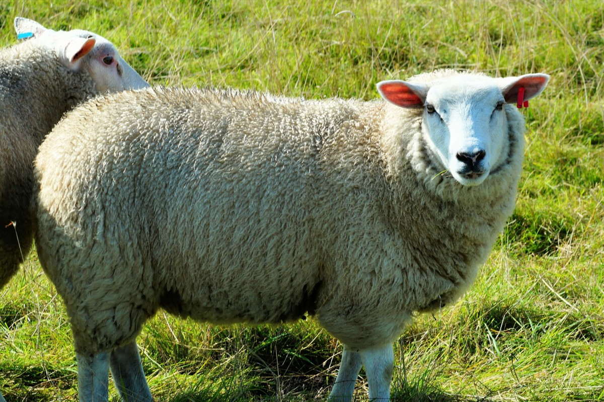 Wooly sheep in a field. Wool fiber is biodegradable and sustainable, unlike synthetic fibers.