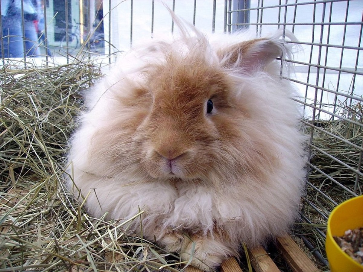 Angora rabbits have very soft fur. Just like sheep, their coats can be shorn.