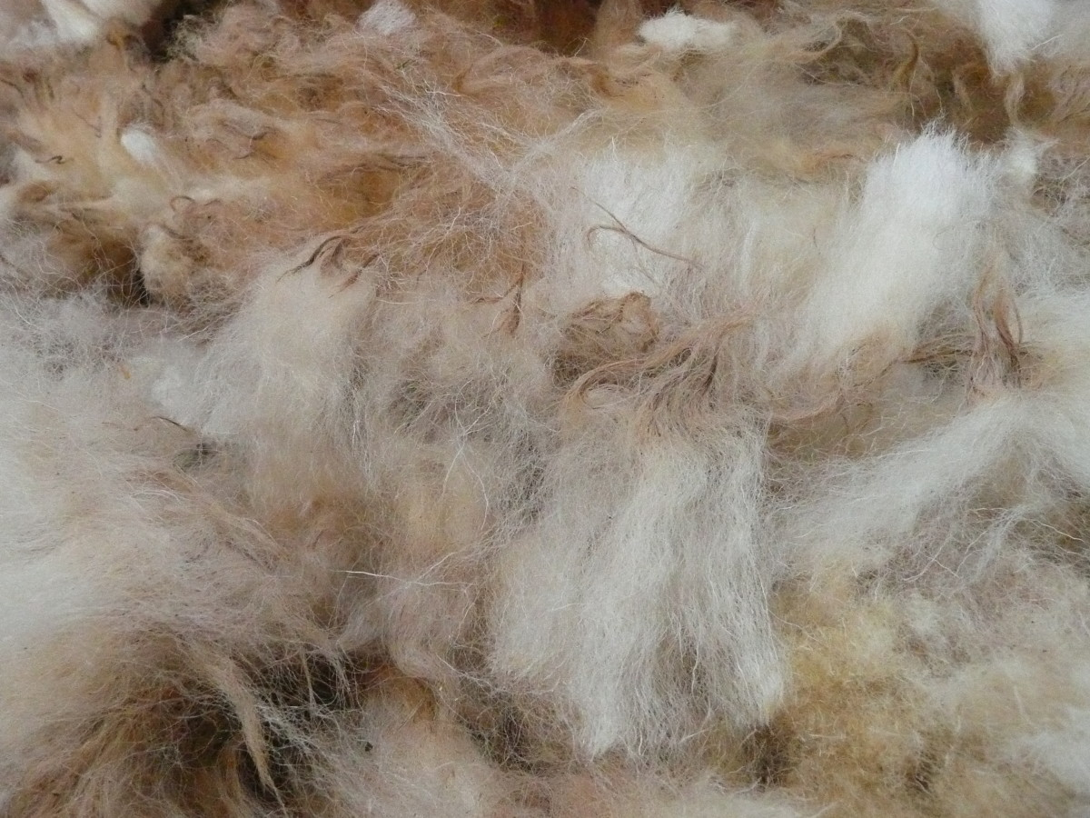 Untreated sheep's wool immediately after shearing.