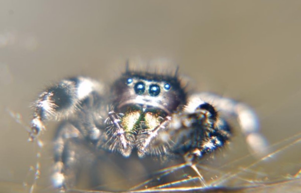 Ghostzilla, a Female Bold Jumping Spider (Isn't she cute!?)