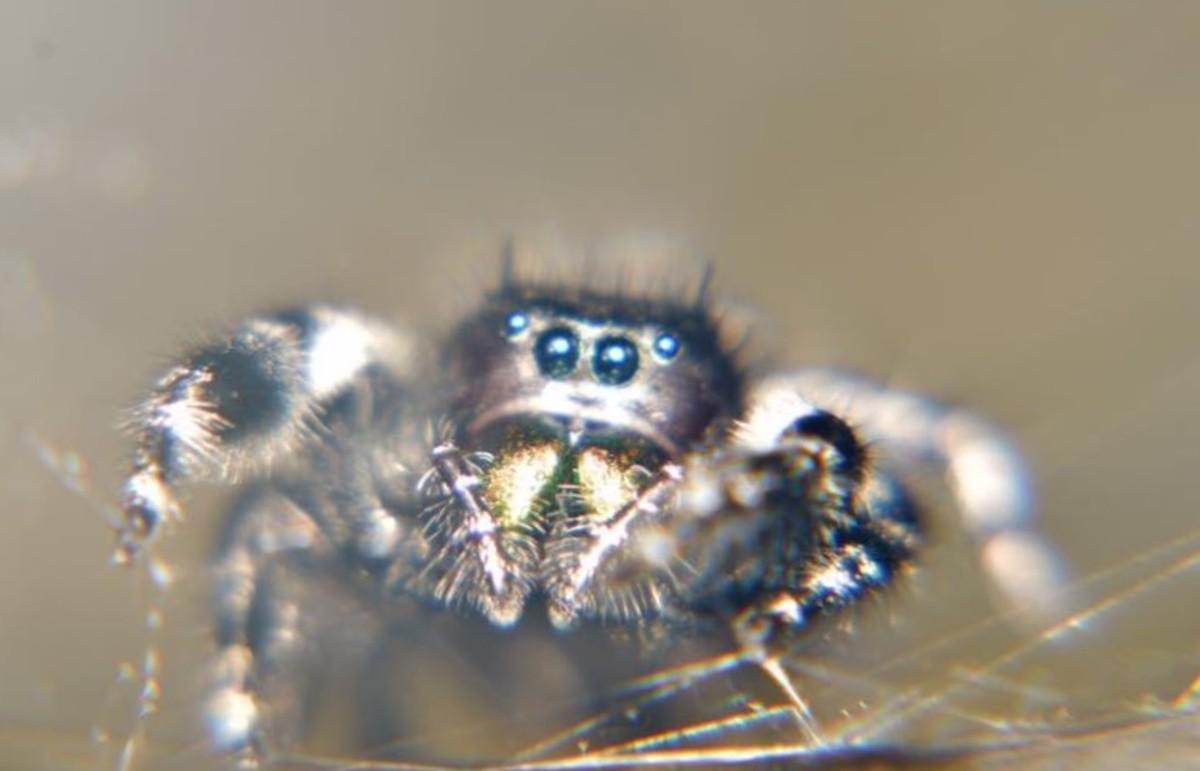 Ghostzilla, a Female Bold Jumping Spider (Isn't she cute!?)