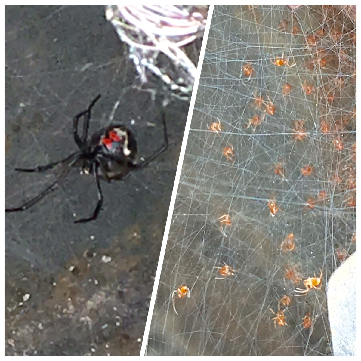 Northern Black Widow and Babies