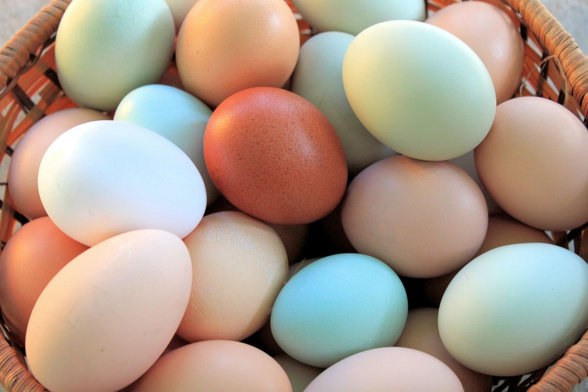 Having a white egg layer or two in your flock will make the other colors in your basket seem that much more vibrant.