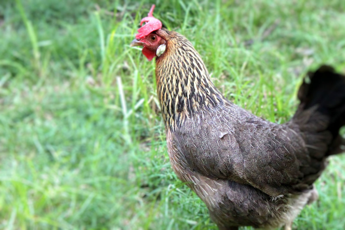 Brown leghorns retain most of the wild instincts of their breed, and will often go completely feral if allowed to do so.
