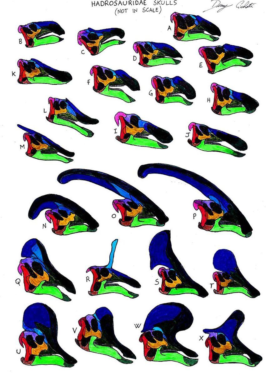 Saurolophine (A-M) and lambeosaurine (N-X) skulls, by Danny Cicchetti.