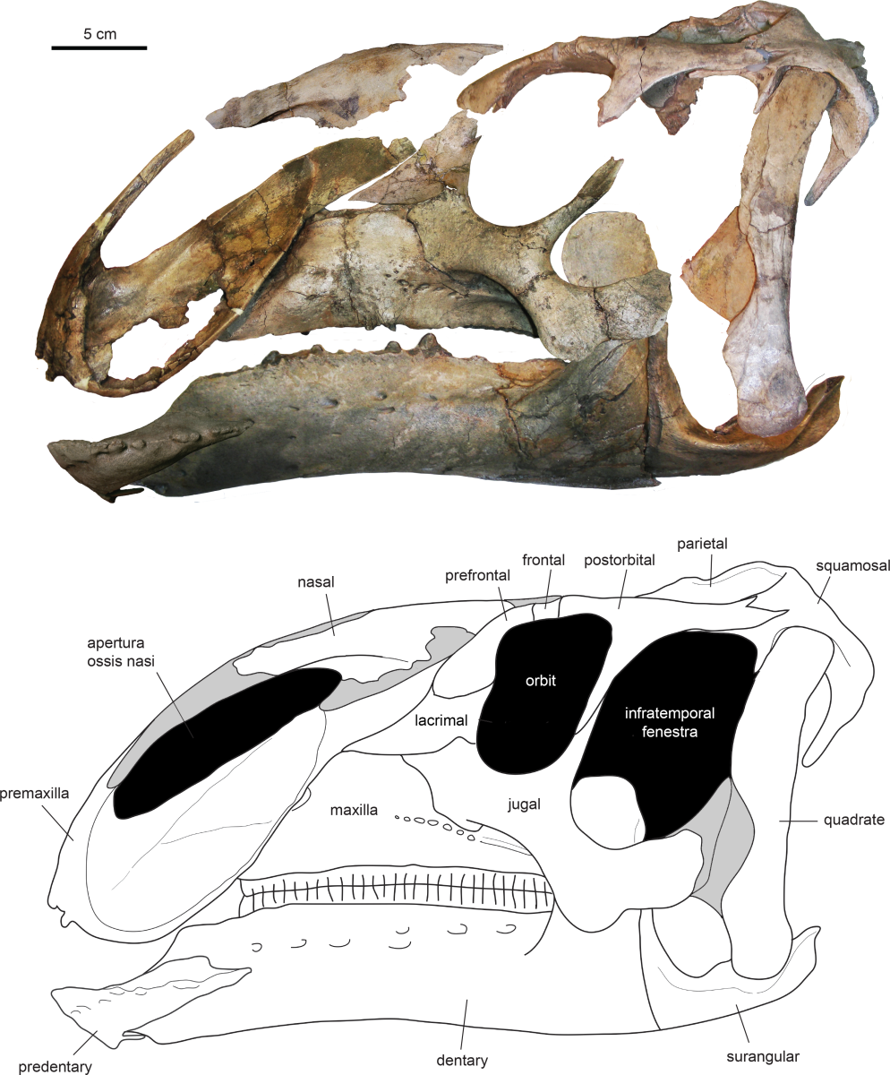 Eotrachodon skull and diagram.