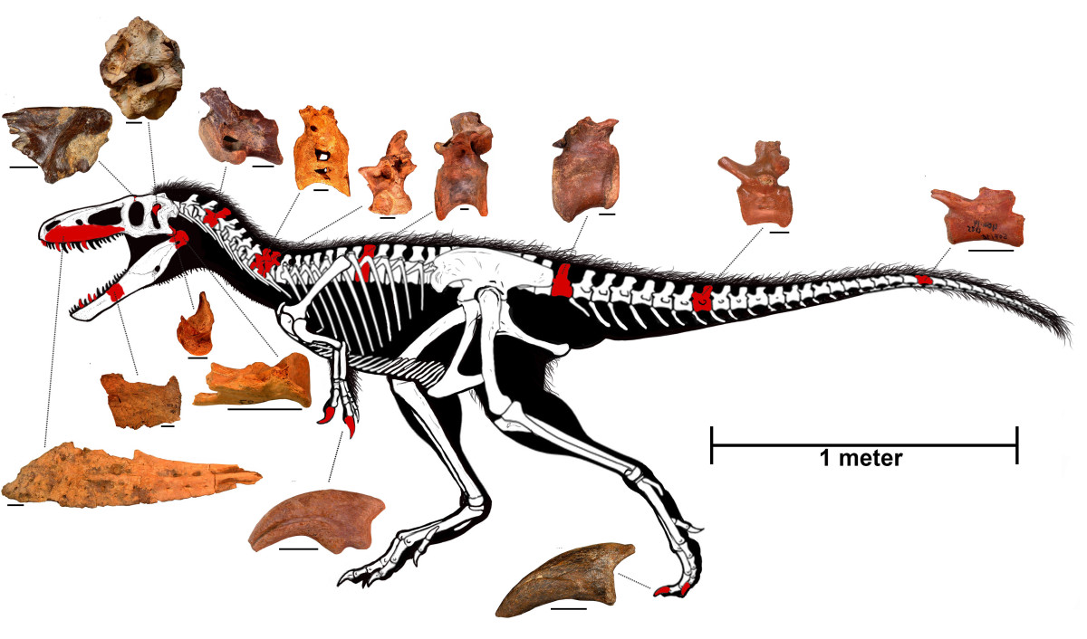 Known remains and projected anatomy of Timurlengia by Todd Marshall.