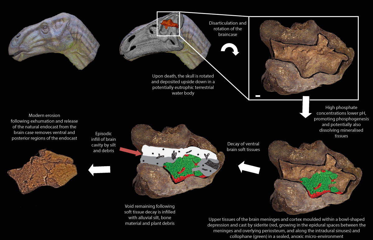 How Iguanodon brain tissue survived fossilization.