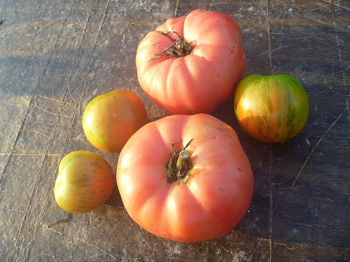 Brandywine tomatoes are pink in color. They are often considered to be the best tasting of all heirloom varieties.