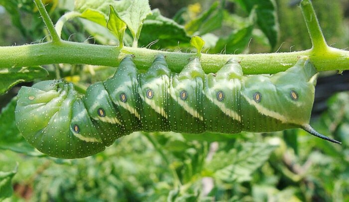 A tomato hornworm