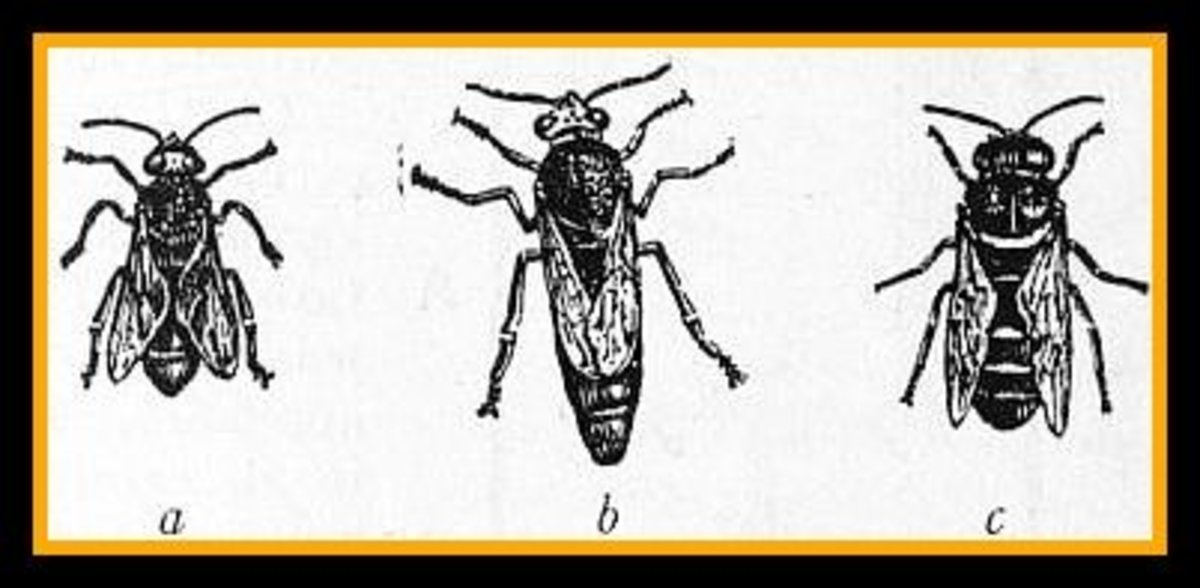 (a) worker (b) Queen (c) drone