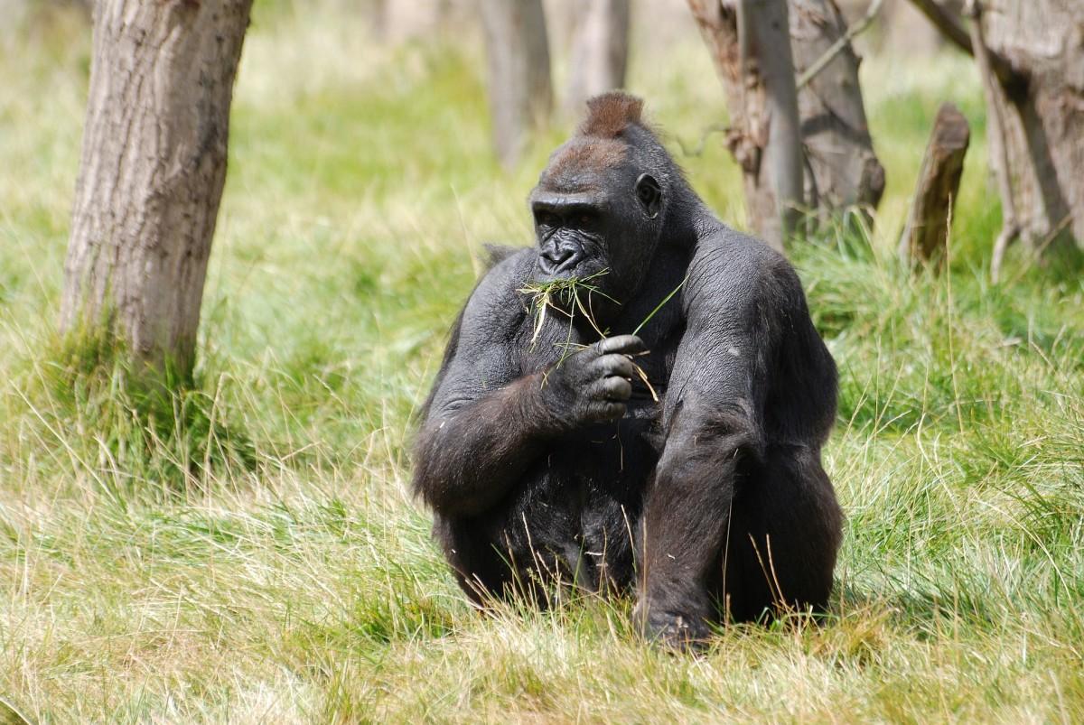 saving-the-mountain-gorilla