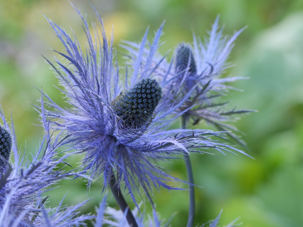 One of my favorites because of it's audacity to be spiked! Botanical name eryngium maritimum.