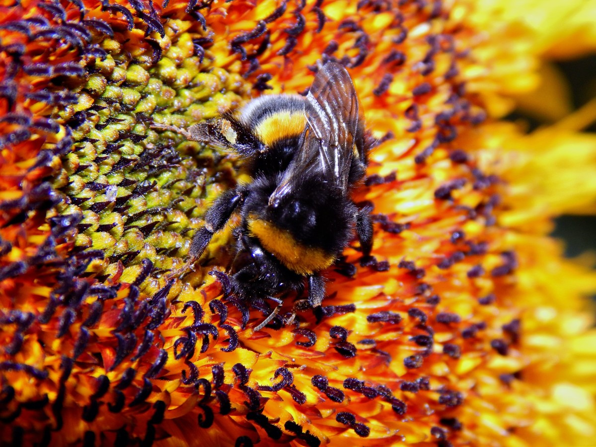 Excellent shot of a bumble bee, fatter and furrier!
