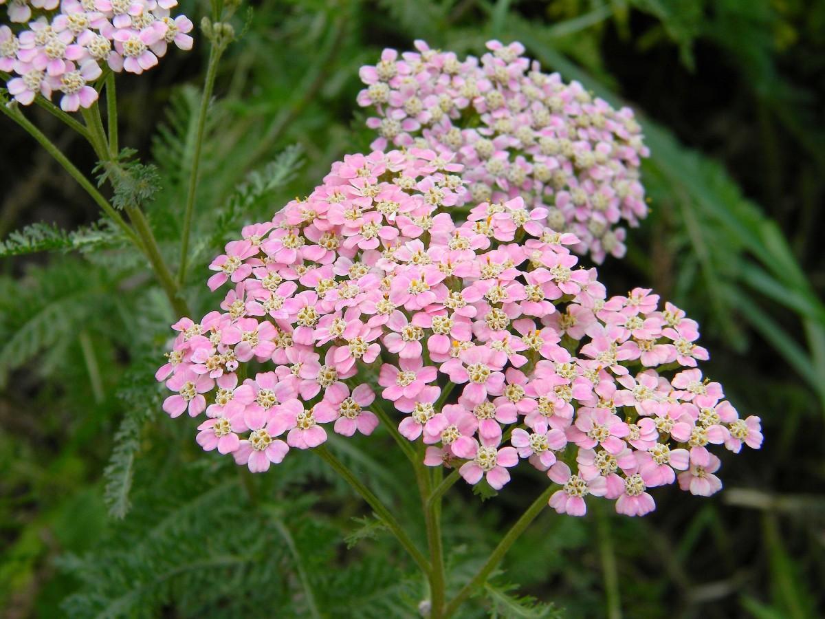 Yarrow is a tiny daisy like flowers bees love.