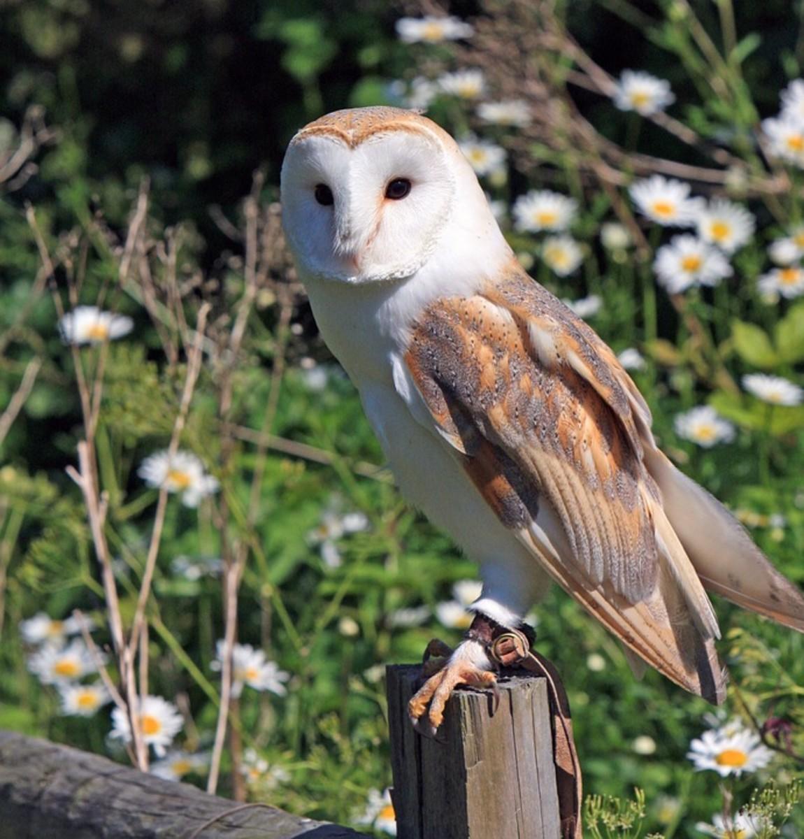 """""Hark! Peace! It was the owl that shrieked, the fatal bellman"" - Macbeth."