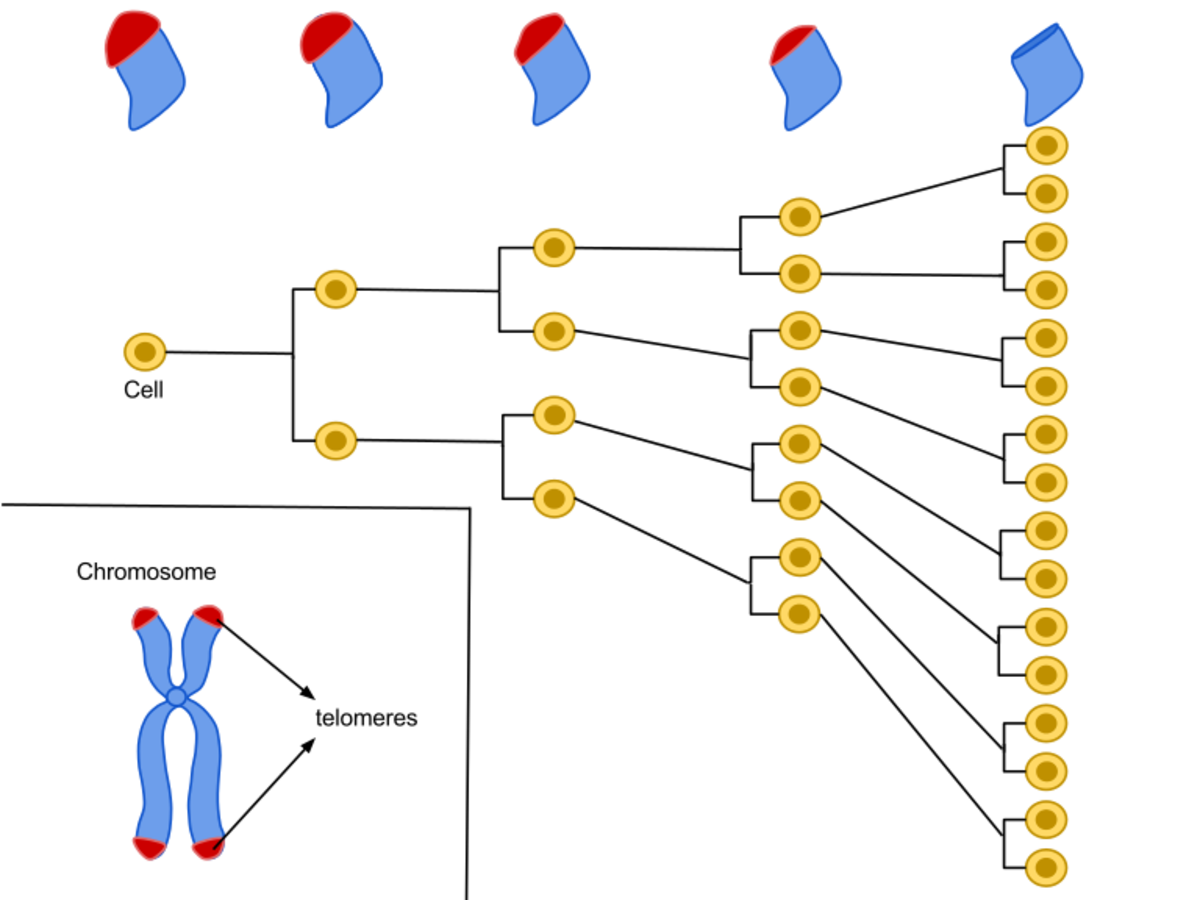 "A human cell usually replicates only about 50-70 times. As the cell divides, telomeres on the end of the chromosomes shorten. The ""Hayflick Limit"" says that telomeres eventually disappear and the cell dies completely."