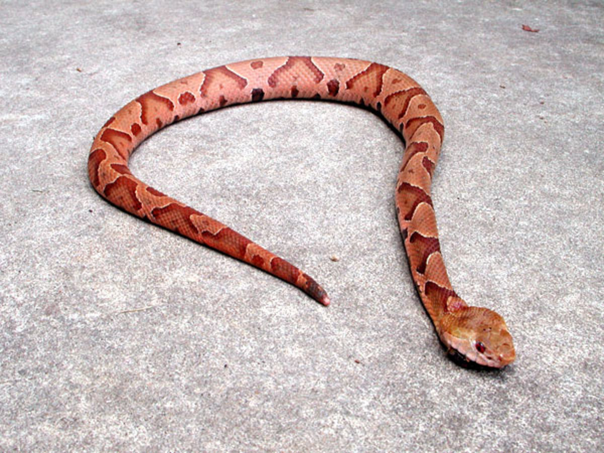 American Copperhead. Photo taken by Michael Page on June 27, 2005 in Atlanta, Georgia.