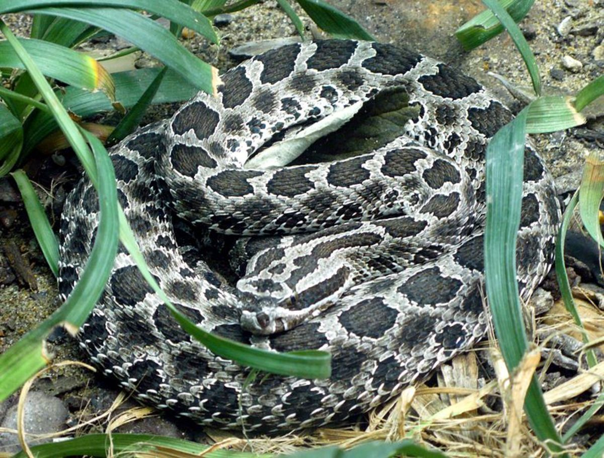Massasauga rattlesnake (Sistrurus catenatus)