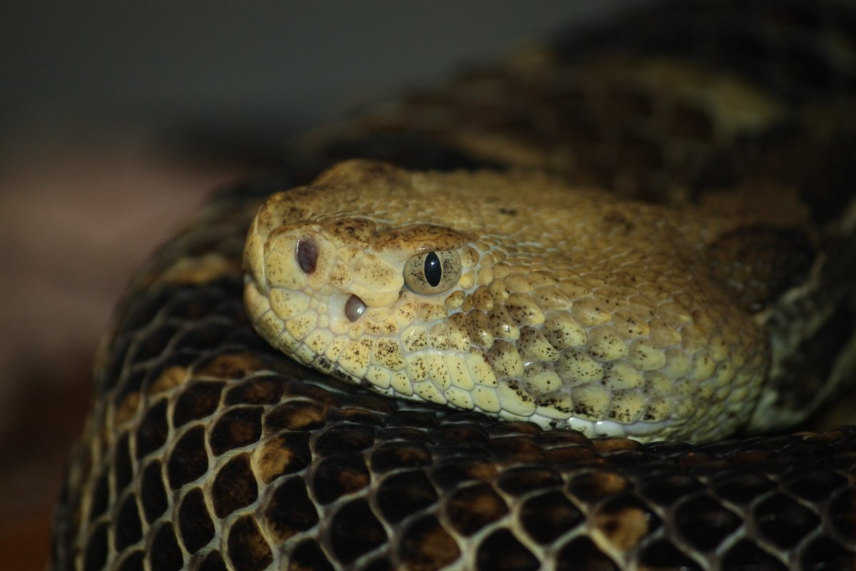 A close-up view of the Timber Rattlesnake's head.